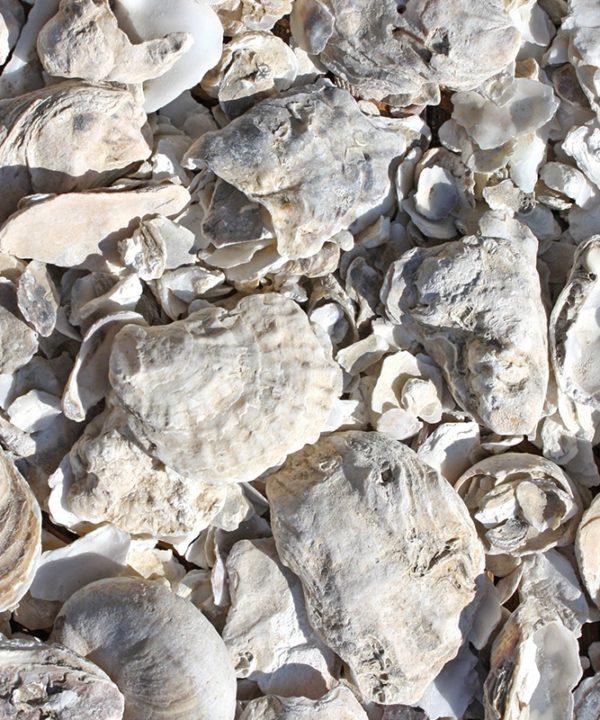 ecaille décorative de coquille d'huître